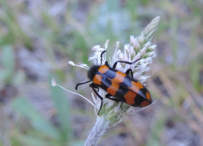 Meloidae da identificare:  Hycleus polymorphus