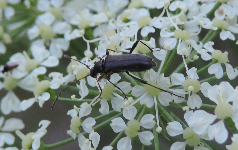Oedemeridae?  No, Cerambycidae: Grammoptera ruficornis, femmina