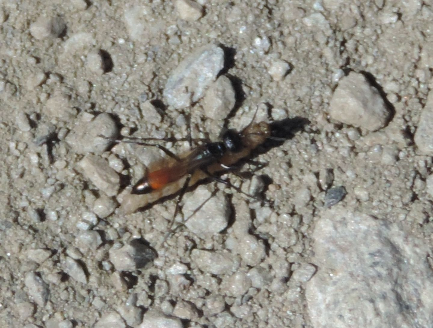 Sphecidae d''alta quota: Podalonia sp.