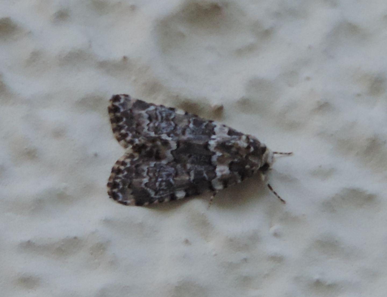 Noctuidae da identificare: Bryophila domestica (cfr.)