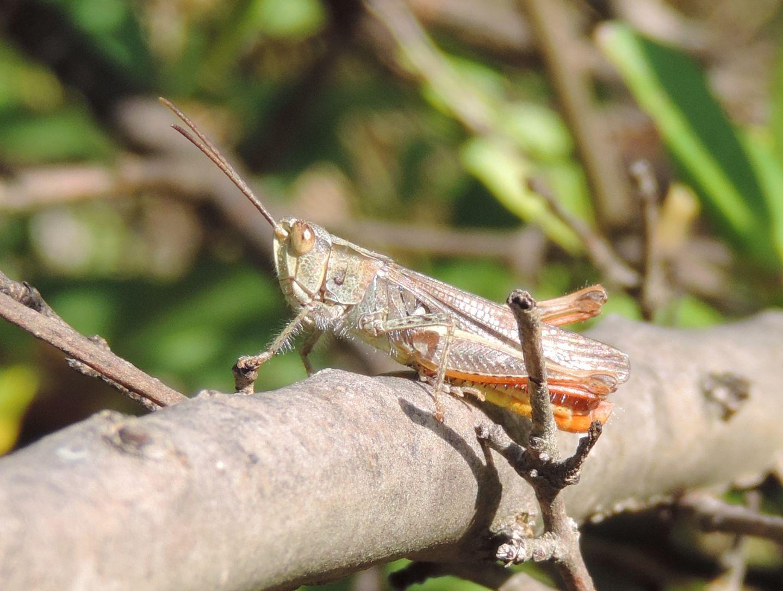 4 specie di Chorthippus (Glyptobothrus) da Salbertrand