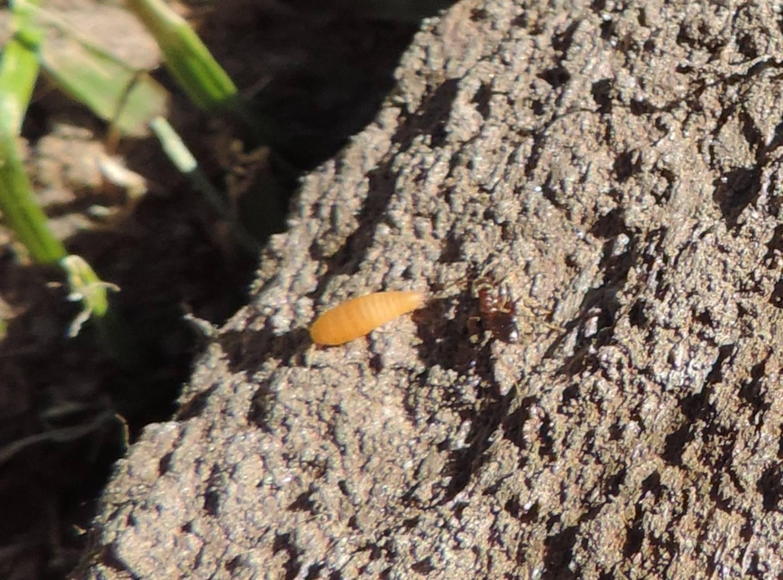 Quale Ateluridae?