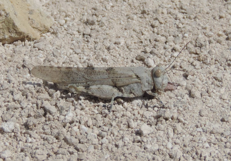 Sphingonotus coerulans?