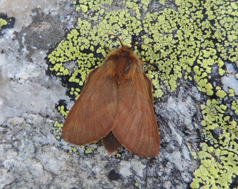 Lasiocampidae? Sì, Malacosoma (Malacosoma) alpicolum