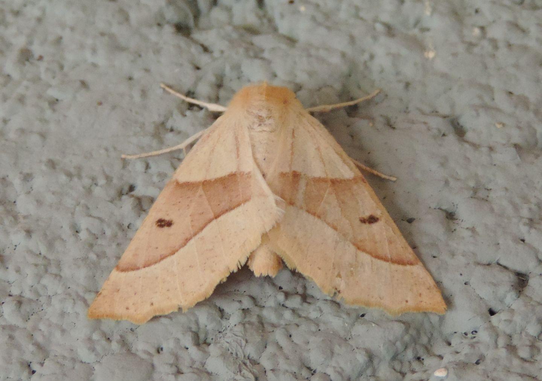 Falena da identificare: Crocallis elinguaria - Geometridae