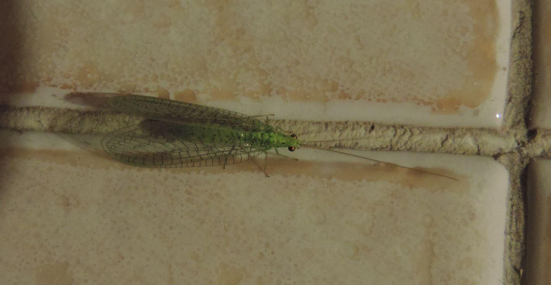 Chrysopidae: Pseudomallada gr. prasinus