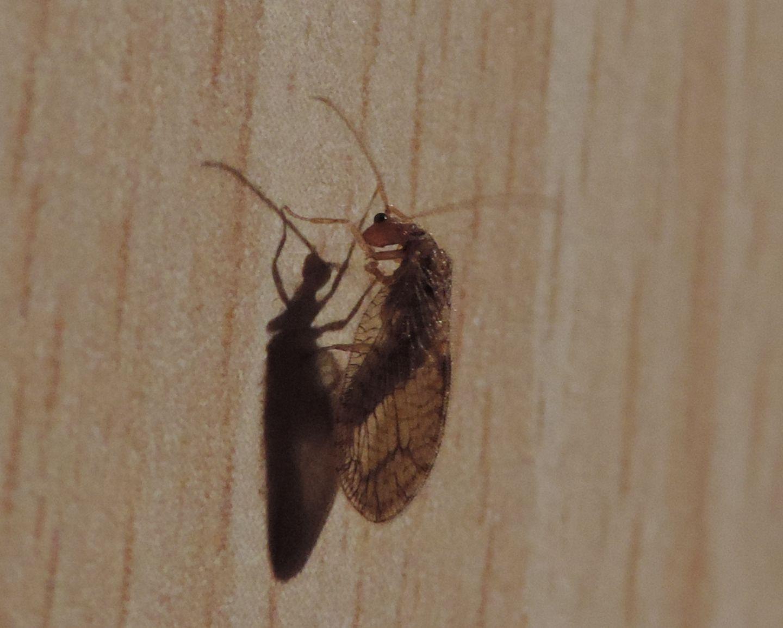 Hemerobiidae: Micromus angulatus?  Sì !