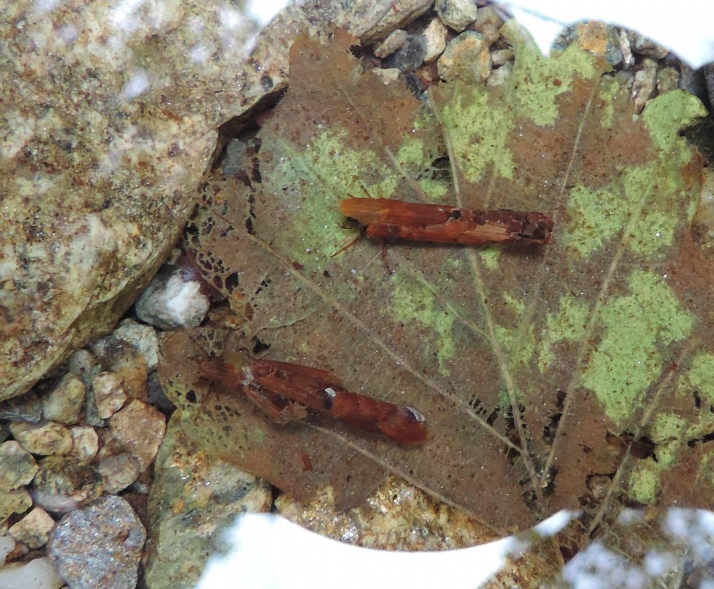 Tricotteri da identificare - Limnephilidae
