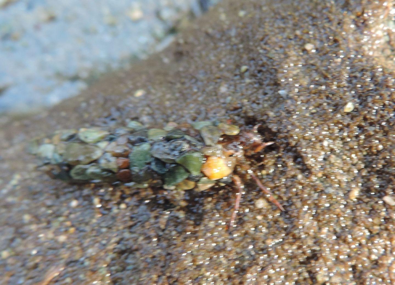 Larva di Tricottero - Limnephilidae