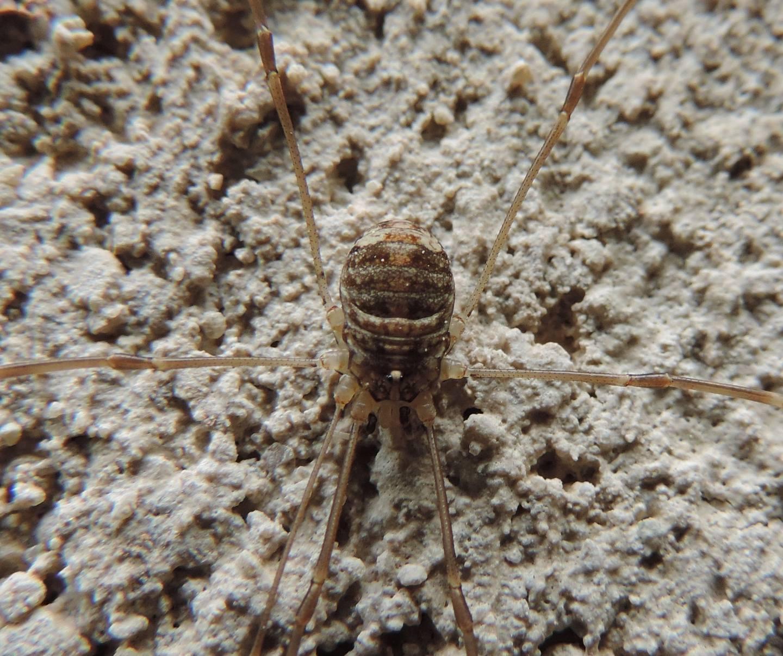 Nelima sp. - Sclerosomatidae
