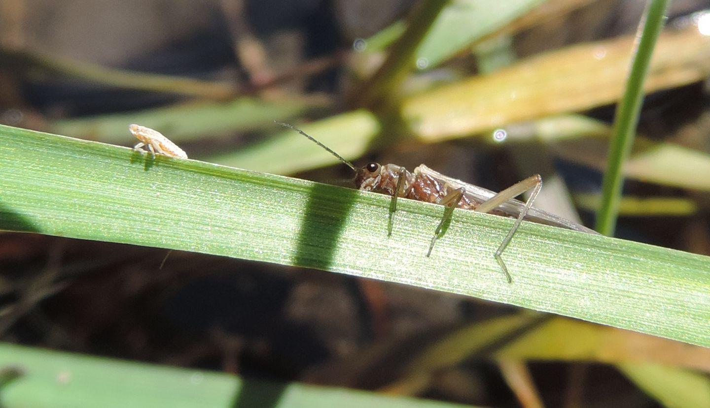 quali Plecotteri? Fam. Nemouridae