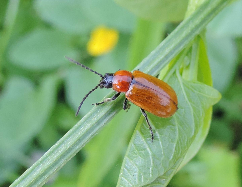 Chrysomelidae: Exosoma lusitanicum? Sì.