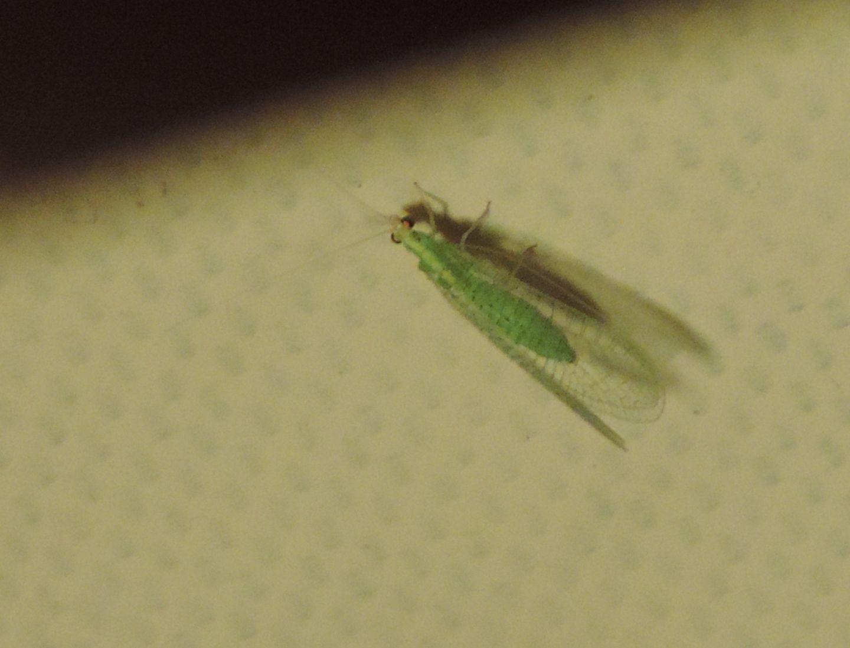 Chrysopidae corso da identificare