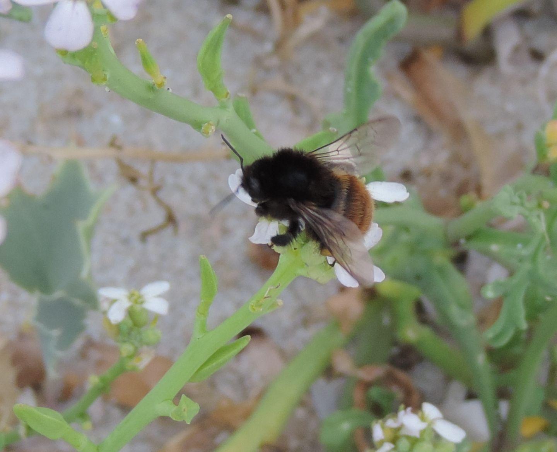 Bombus dalla Corsica: Bombus pereziellus, femmina