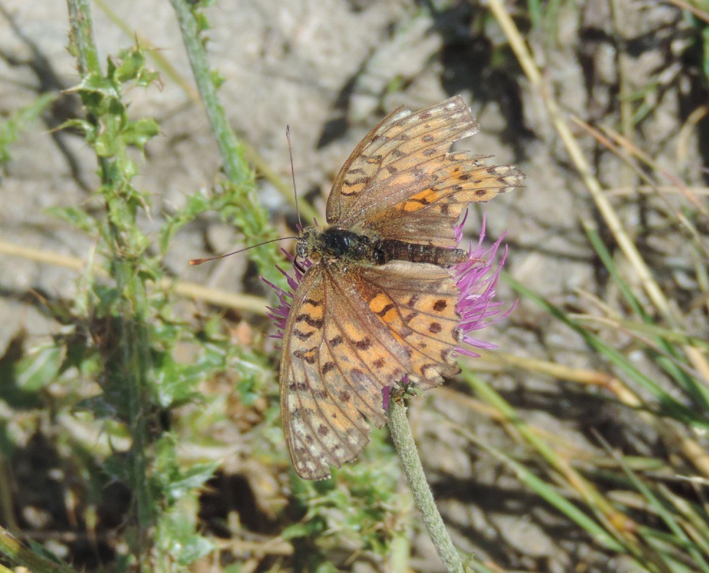 Nymphalidae: Argynnis adipe maschio