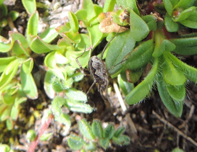 Mitopus morio - Phalangiidae