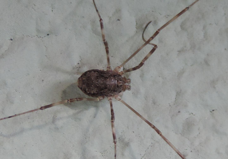 Rilaena triangularis - Phalangiidae