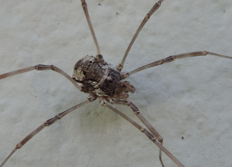 Rilaena triangularis ♂ - Phalangiidae