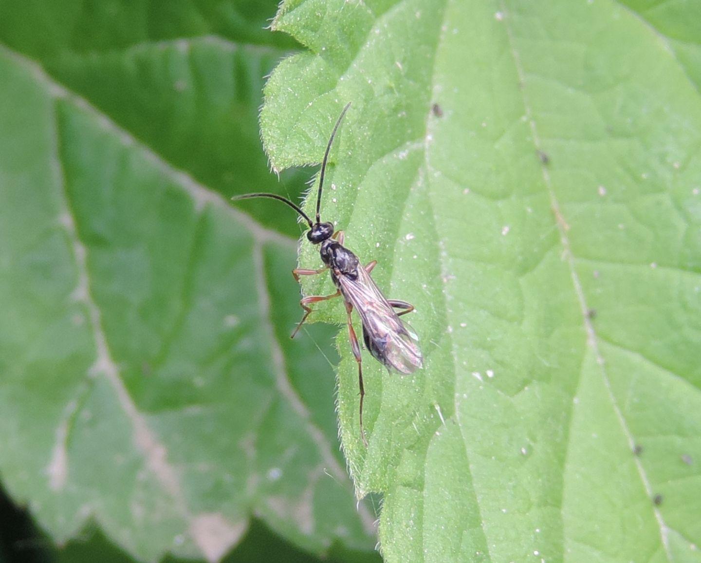 Ichneumonidae?