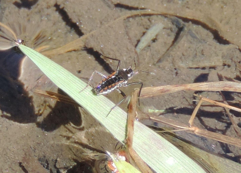 Veliidae da identificare