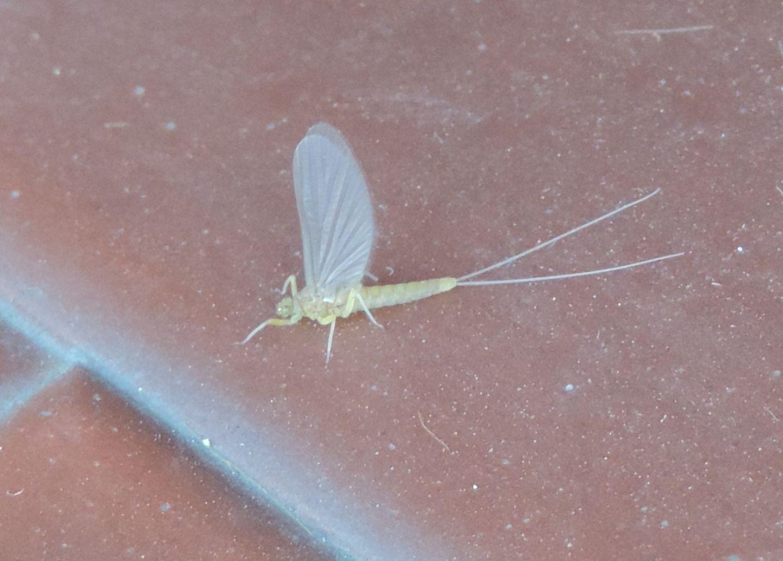 Piccola effimera da identificare - Baetidae