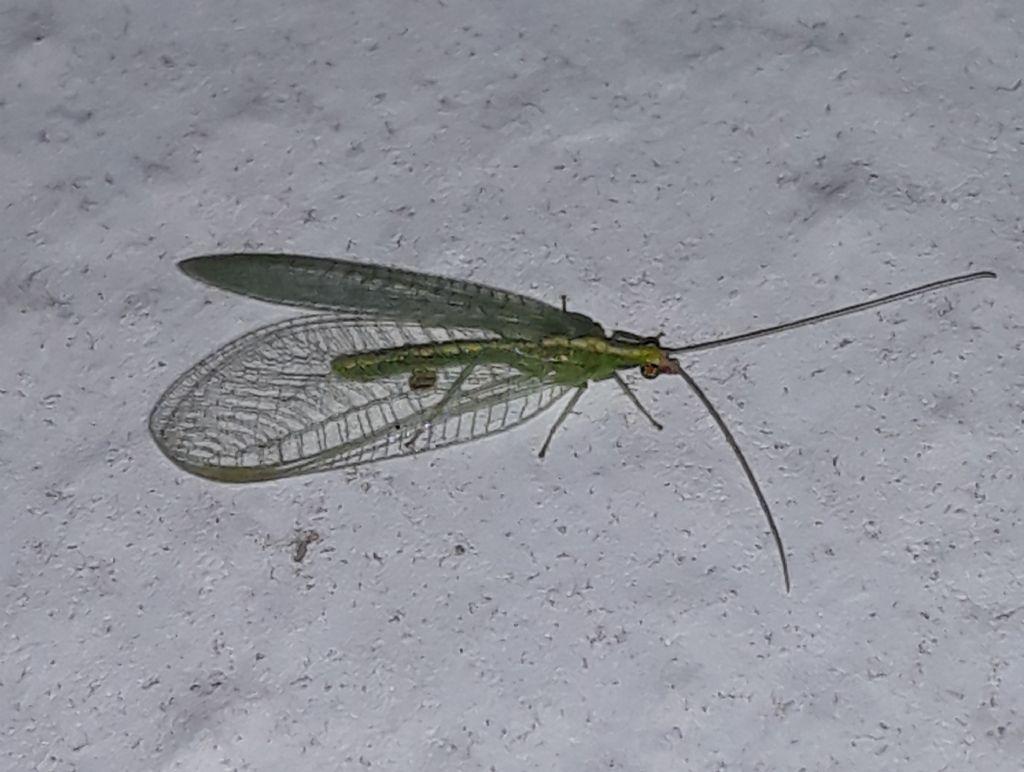 Chrysopidae da Linosa da identificare