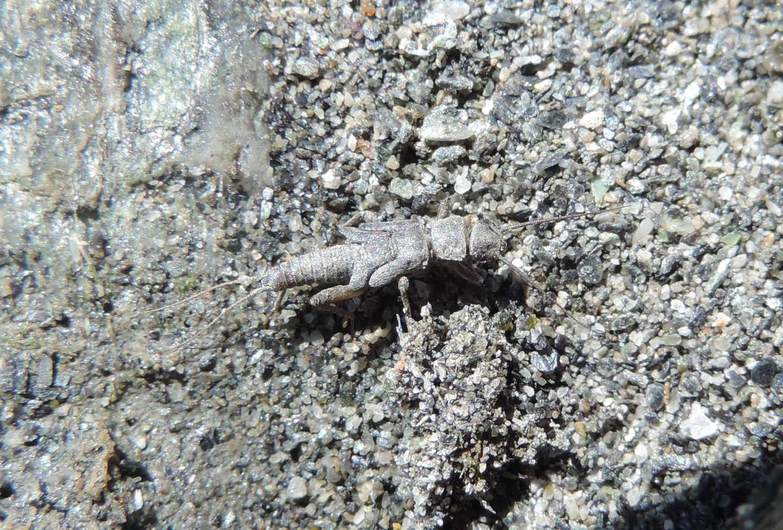 Dinocras? No Nemouridae