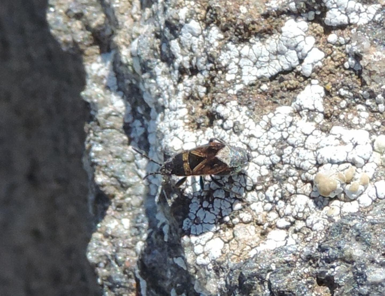 Lygaeidae: Trapezonotus desertus?  Sì !
