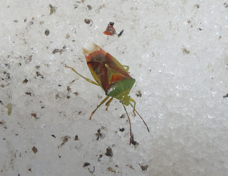 Acanthosomatidae: Elasmostethus interstinctus?  Sì !