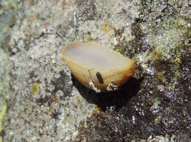 Limacidae d''alta quota da identificare
