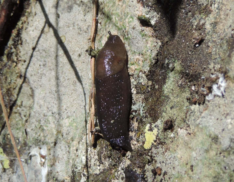 Limacidae da identificare