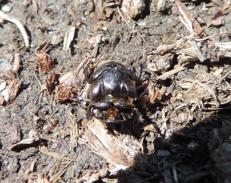 Scarabaeidae: Onthophagus fracticornis? Sì, maschio.