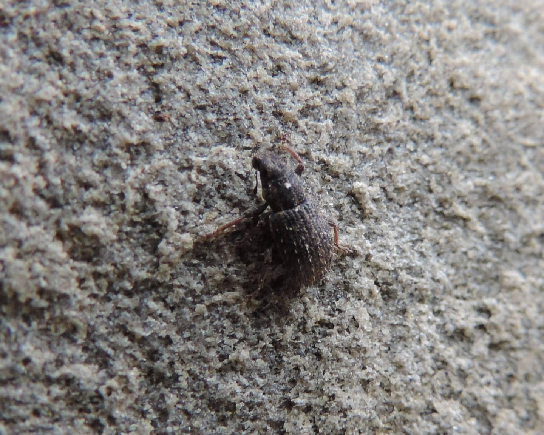 altra Sitona: Sitona cfr. hispidulus