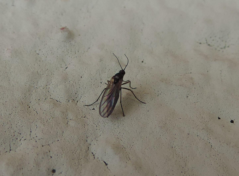 Sciaridae sp.?   Sì !