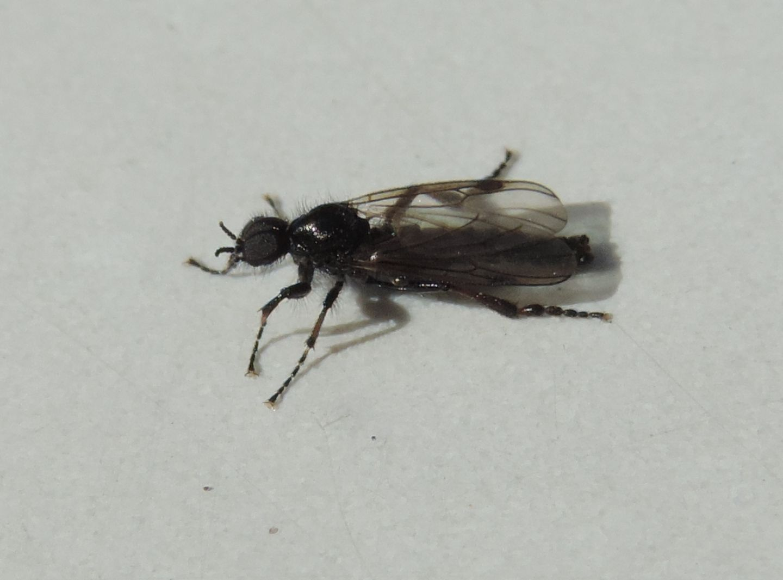Bibio femoratus? ...  Bibio cfr. femoralis, maschio