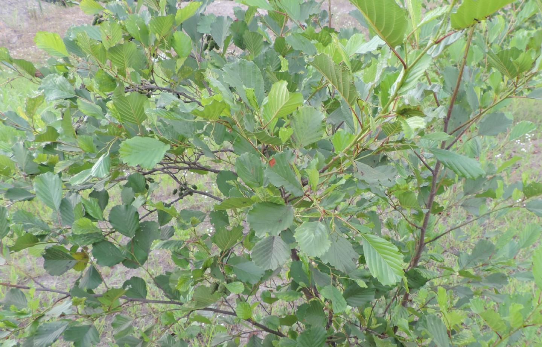 Pianta rovinata: Ontano nero / Alnus glutinosa