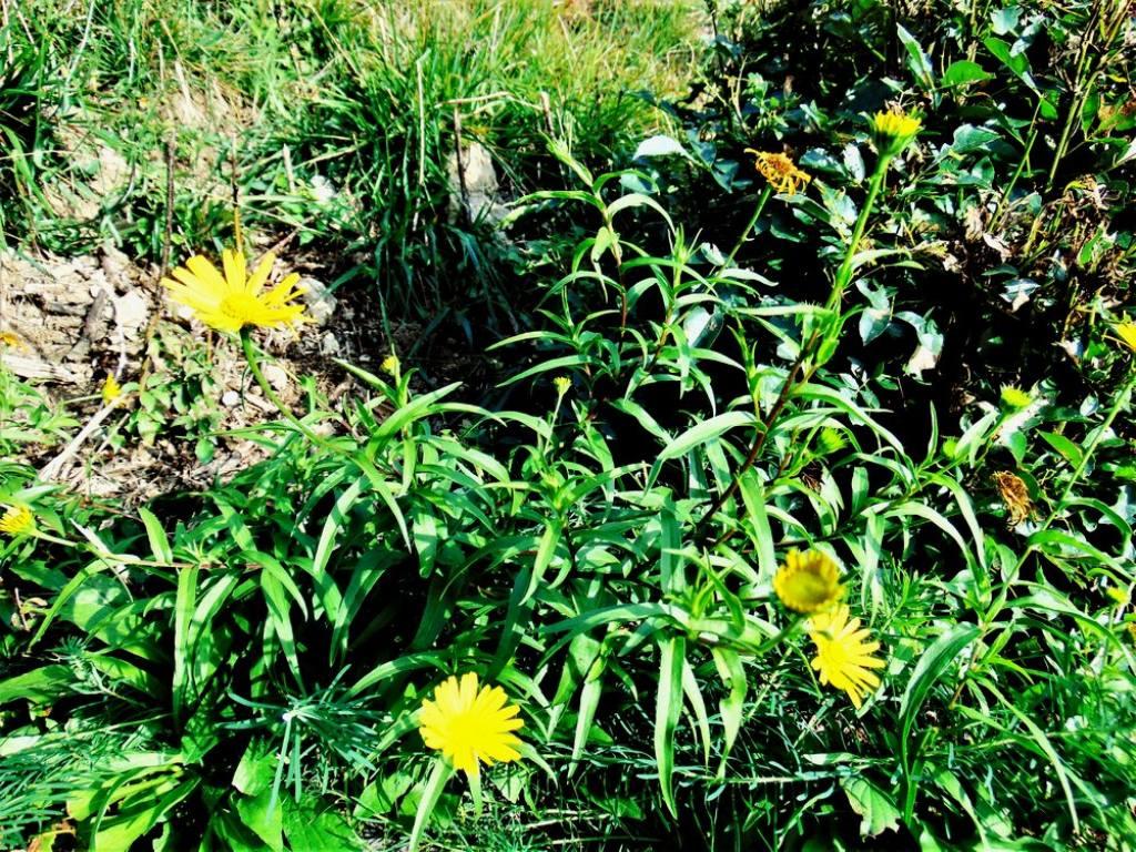 Buphtalmum salicifolium (Asteraceae)