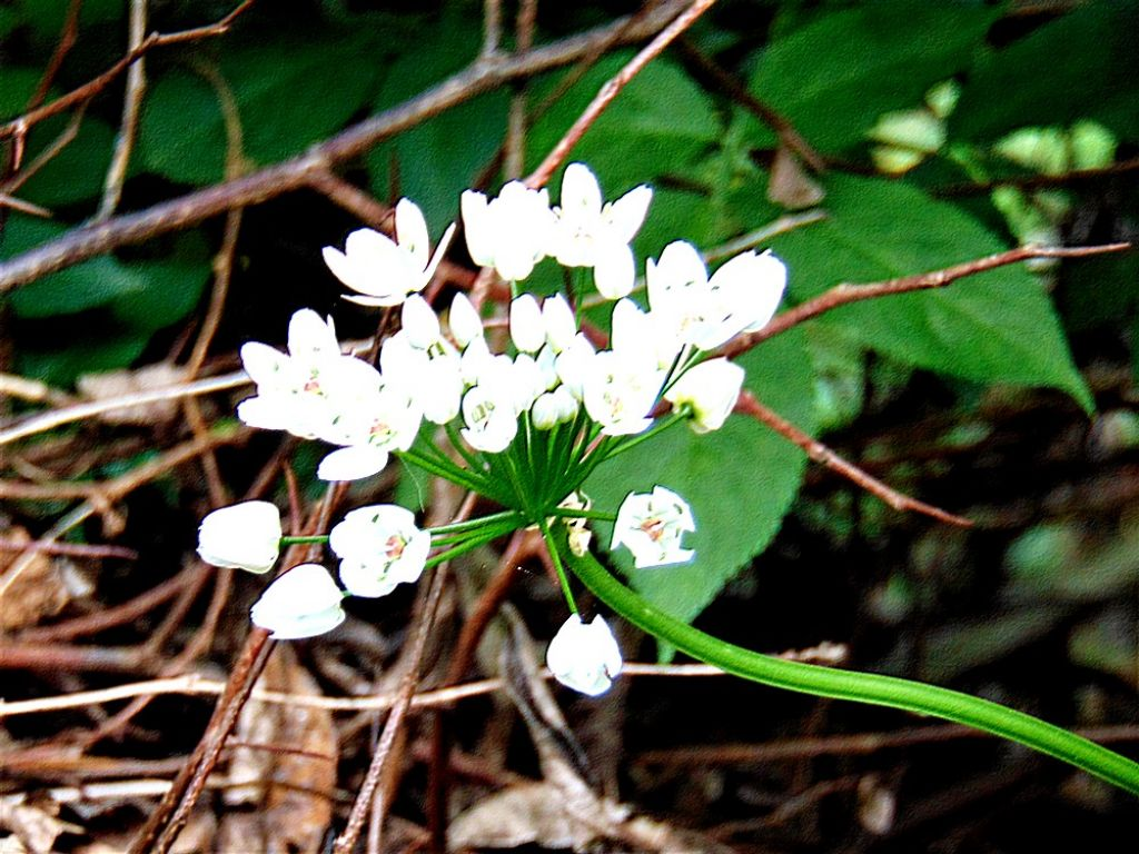 Allium sp.