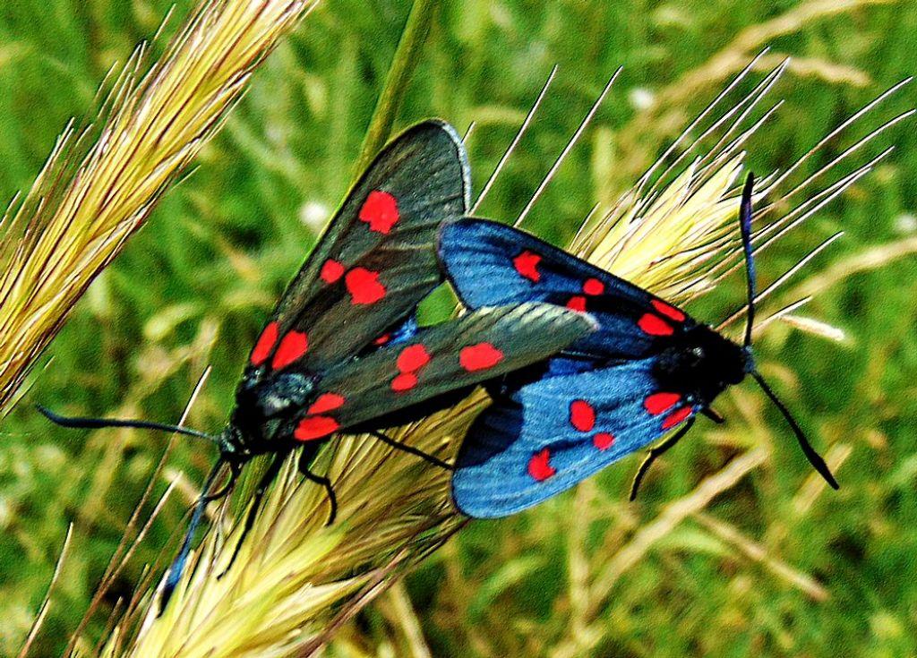 Zygaena  maschio e femmina? Sì, Zygaena (Zygaena) lonicerae - Zygaenidae