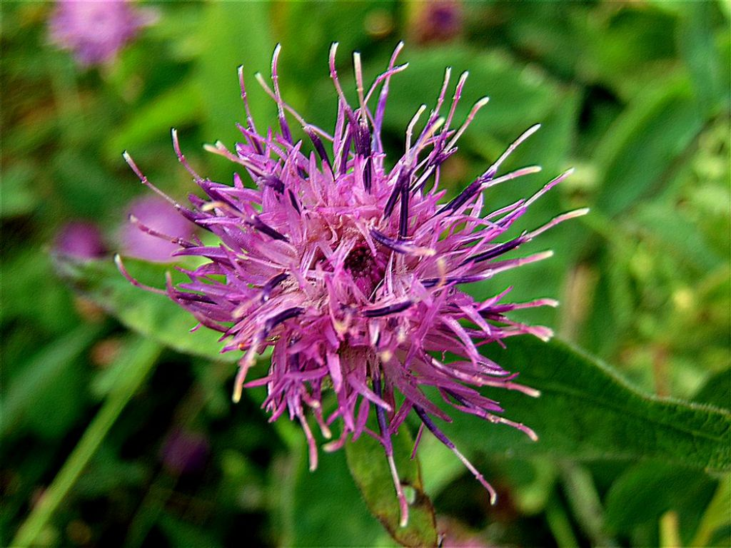 Asteraceae:  Centaurea nigrescens  transalpina (cfr.)