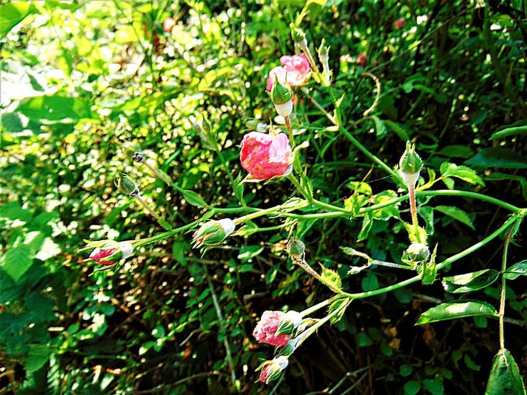 Rosa sp. (prob. specie coltivata sfuggita da qualche giardino)