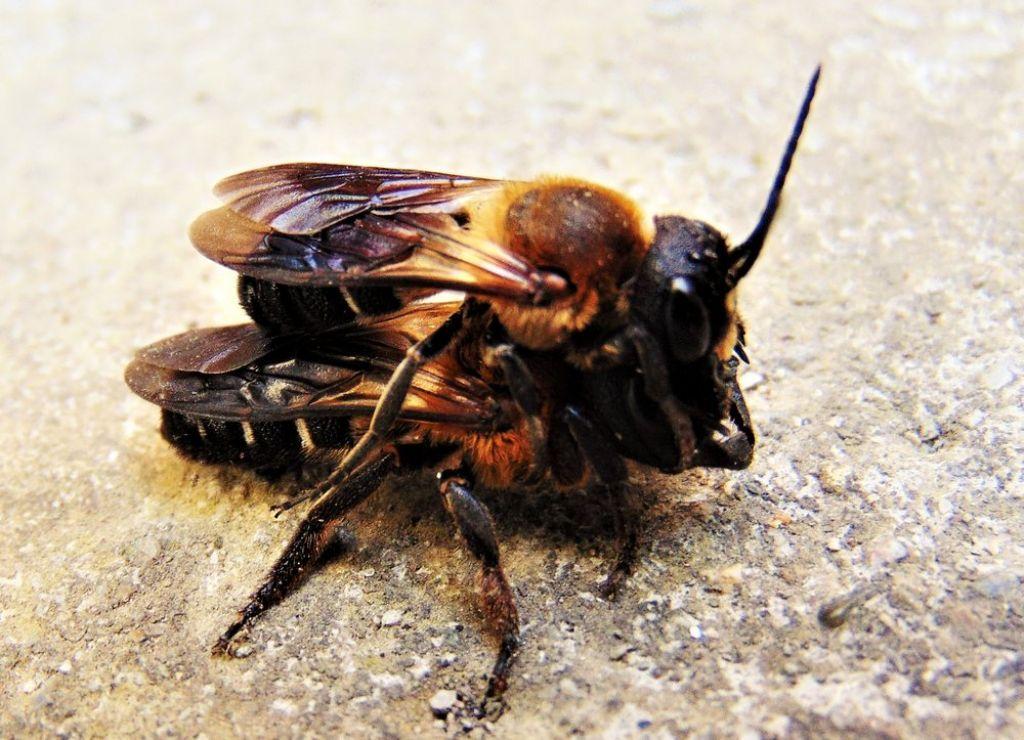 Apidae Megachilinae: Megachile sculpturalis