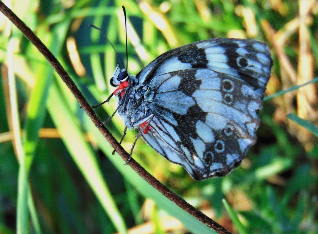 Farfalla da id: Melanargia galathea - Nymphalidae