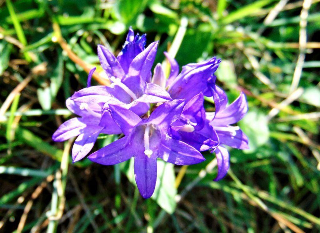 fiore2 - Campanula glomerata
