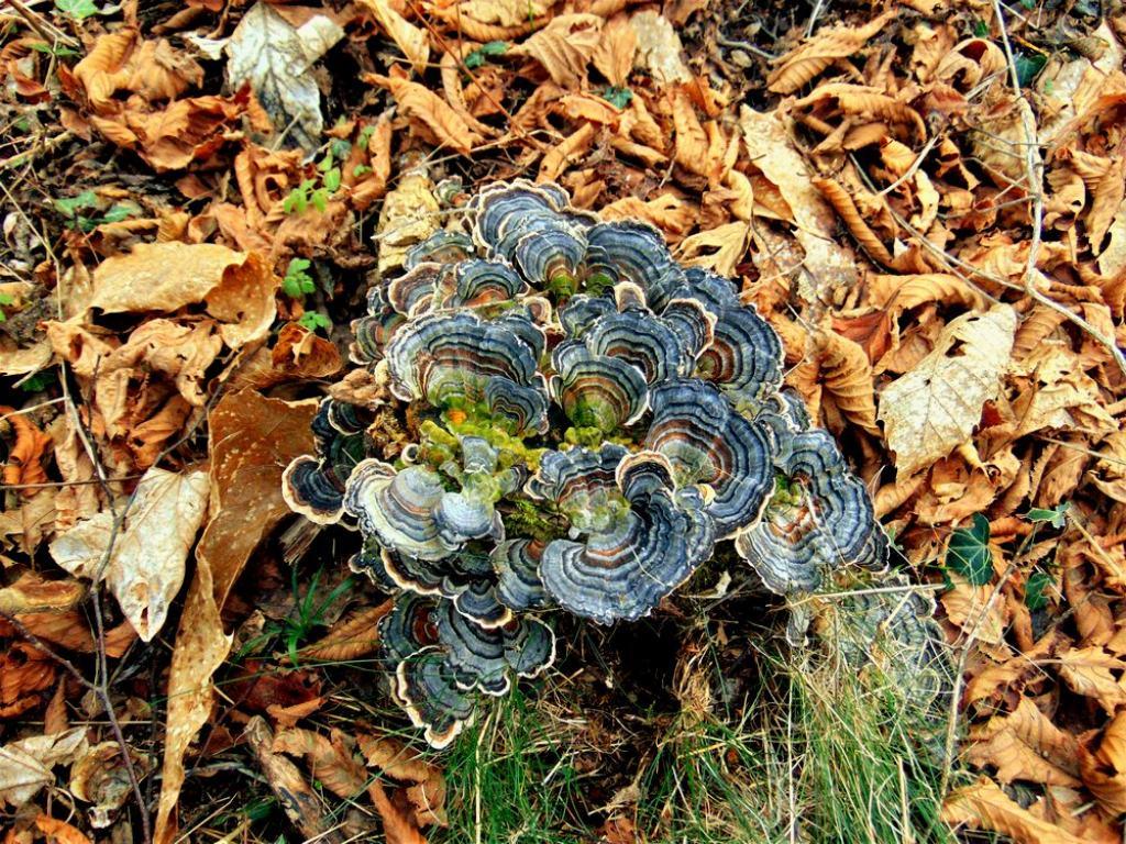 fungo legnoso