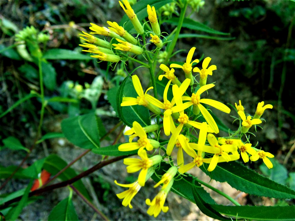 Senecio ovatus (Asteraceae)