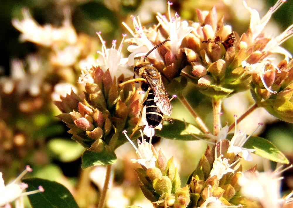 Apidae Halictinae: Halictus quadricinctus, maschio