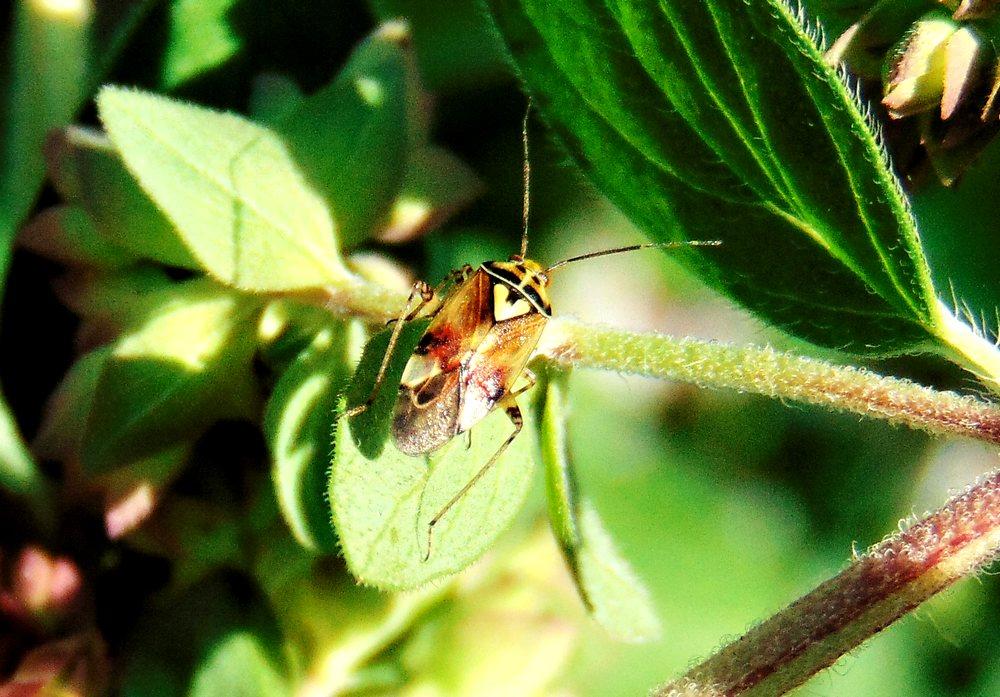 Miridae: Lygus pratensis