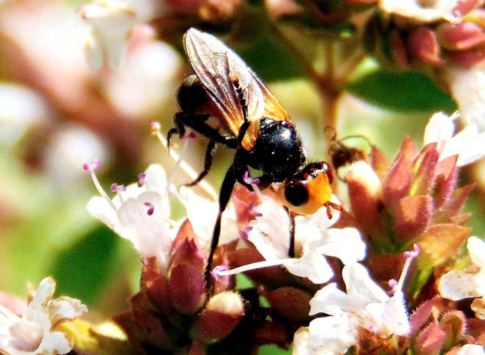 Conopidae: cfr. Thecophora sp.