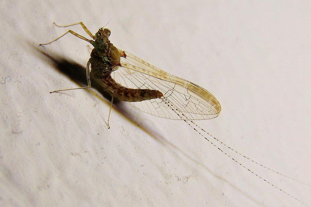 Cloeon cognatum, femmina
